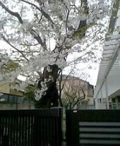 070401sakura_004