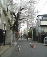 070401sakura_005
