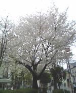 070401sakura_008