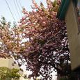 4月花の散歩道 桜満開