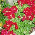 4月花の散歩道 赤い花なんの花?