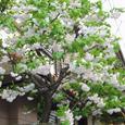 4月花の散歩道 これも桜だよね